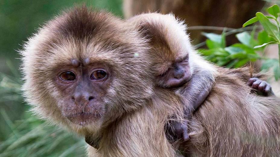Macaco-prego carrega seu filhote em zoológico próximo a cidade de Tel Aviv, em Israel