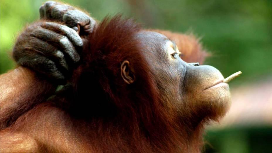 Na Indonésia, orangotango fuma cigarro dado pelo púbilco. Zoológico de Solo, faz campanha para acabar com o hábito