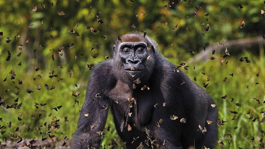 Bai Hokou, República Centro-Africana - Fotógrafo Anup Shah, registra uma gorila brincando com borboletas