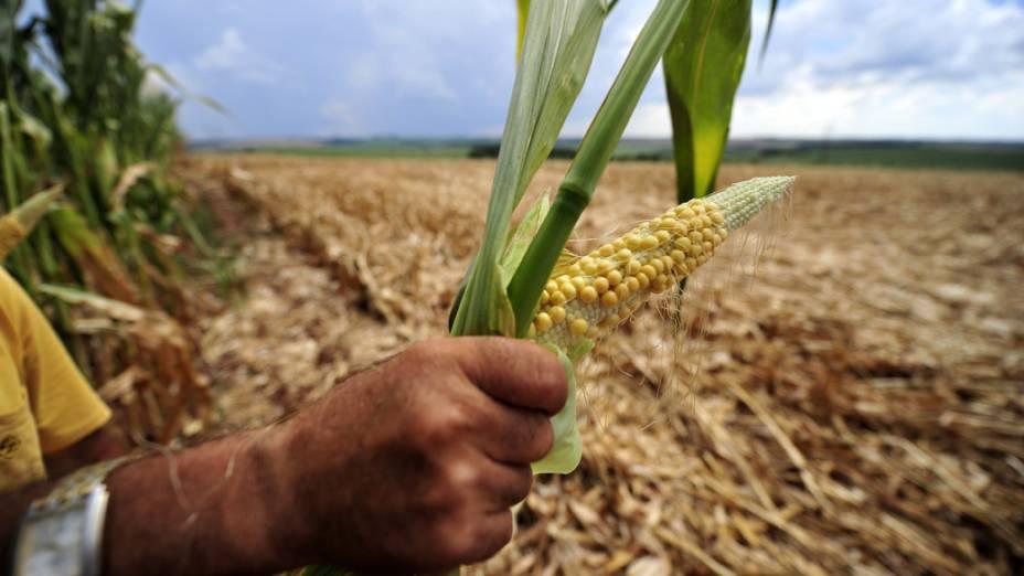 Vista de lavoura de milho durante estiagem no Rio Grande do Sul, onde 107 municípios estão em situação de emergência devido à seca