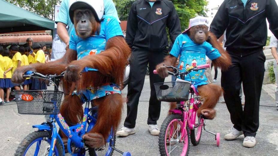 Em imagem divulgada hoje, orangotangos durante campanha pela segurança no trânsito em zoológico na cidade de Bangcoc, Tailândia