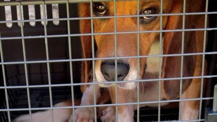 os-caezinhos-beagle-que-jamais-haviam-visto-a-luz-do-sol-sao-enfim-libertados-original.jpeg