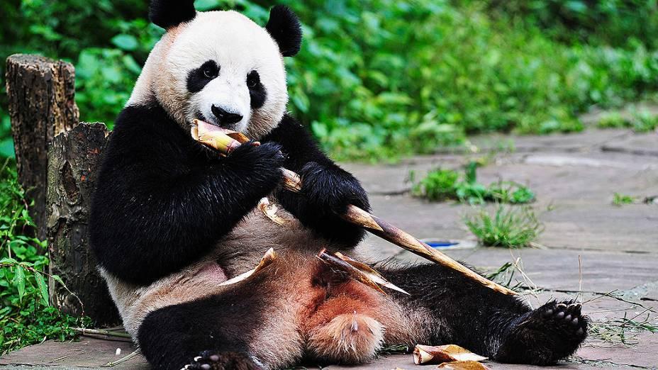 O panda Hu Bao come bambu em reserva florestal em Yaan, na província de Sichuan, na China. Hu Bao é um dos dois pandas gigantes que serão enviados para viver em Cingapura durante 10 anos