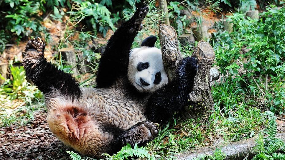 O panda Kai Kai brinca no safari River em Cingapura