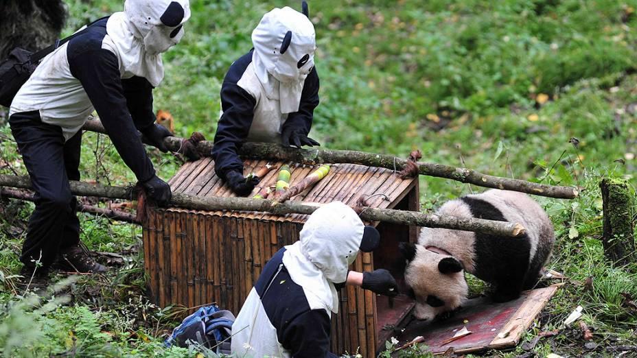 Homens fantasiados de panda atraem panda gigante para gaiola na província de Sichuan, na China. Taotao e sua mãe foram transferidos para exames de saúde