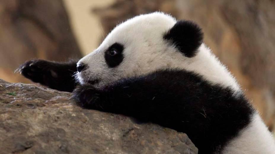 Filhote de urso panda no zoológico de Schonbrunn em Viena, na Áustria