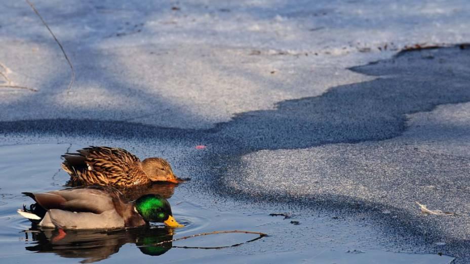 Patos nadam em lago parcialmente congelado na cidade de Bucareste, Romênia. O país sofre com temperaturas muito baixas nas ultimas semanas