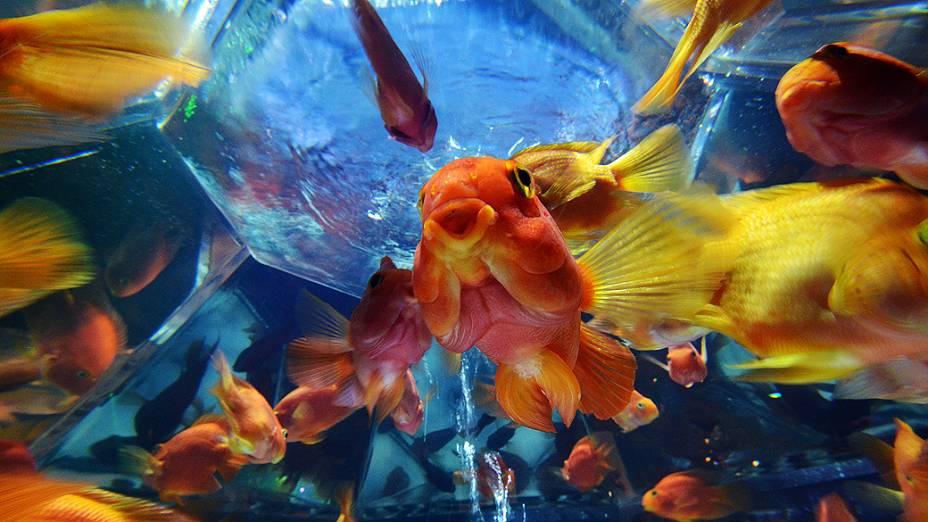 Diferentes peixes são expostos em aquários durante a pré-estreia da exibição Arte Aquário, montada pelo especialista em aquários Hidetomo Kimura