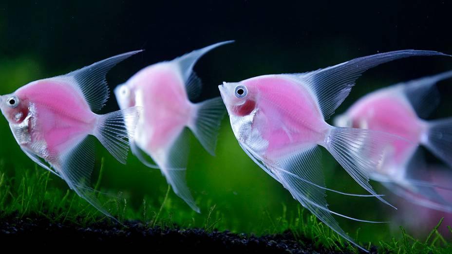 Peixes geneticamente modificados na exposição internacional de aquários de Taiwan
