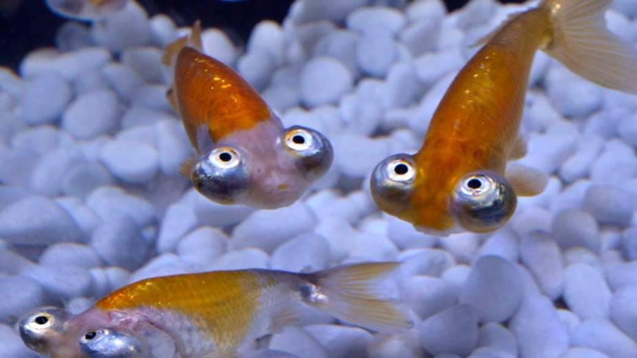 """Em Tóquio, peixes Olho de Telescópio durante prévia da exposição """"Art Aquarium"""""""