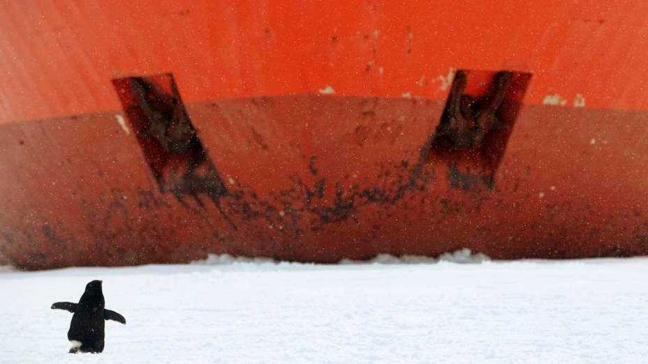 Pinguim passa diante da proa de navio australiano atracado durante expedição na Antártida