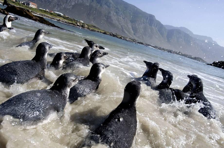 Filhotes de pinguins voltam ao mar após período de tratamento na cidade de Milnerton, África do Sul