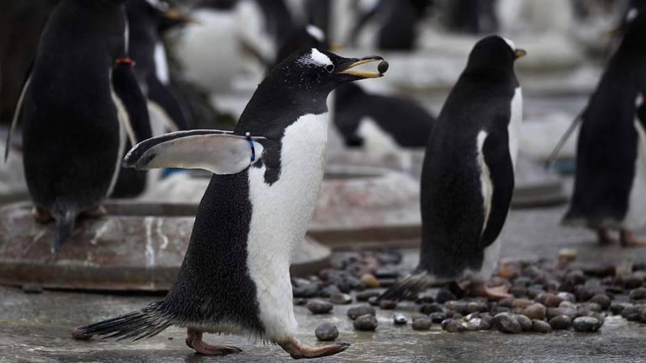 Pinguins da espécie Gentoo no zoológico de Edimburgo, Escócia