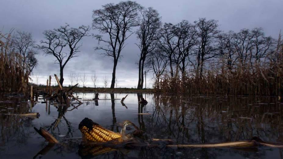 Plantação de milho submersa pela inundação do rio Oder na vila de Manschnow, Alemanha