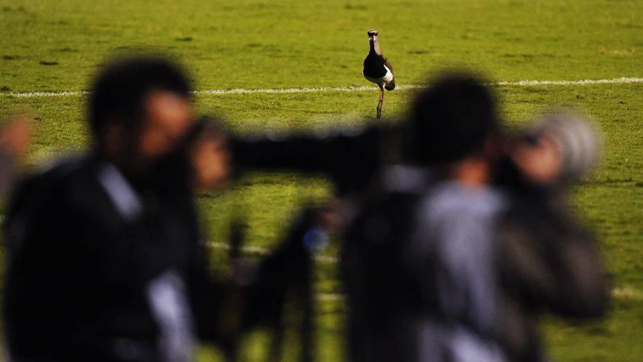 Quero-quero é fotografado no gramado do Morumbi