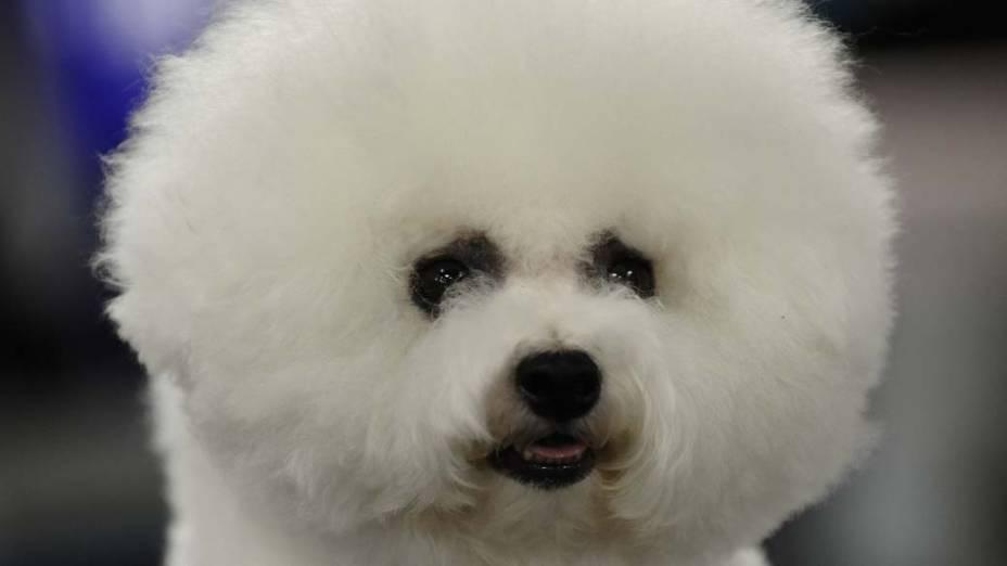 Um bichon frise participa de evento canino no Madison Square Garden em Nova York