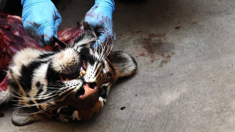 Após a morte de dois tigres e dois leões no zoológico de Bangalore, na Índia, um veterinário realiza autópsia nos animais