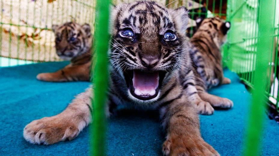 Três filhotes de tigre descansam dentro de uma jaula no zoológico de Medan, na Indonésia