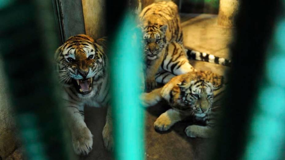"""Tigres siberianos são vistos dentro de suas jaulas no """"Siberian Tiger Forest Park"""" em Harbin, China"""