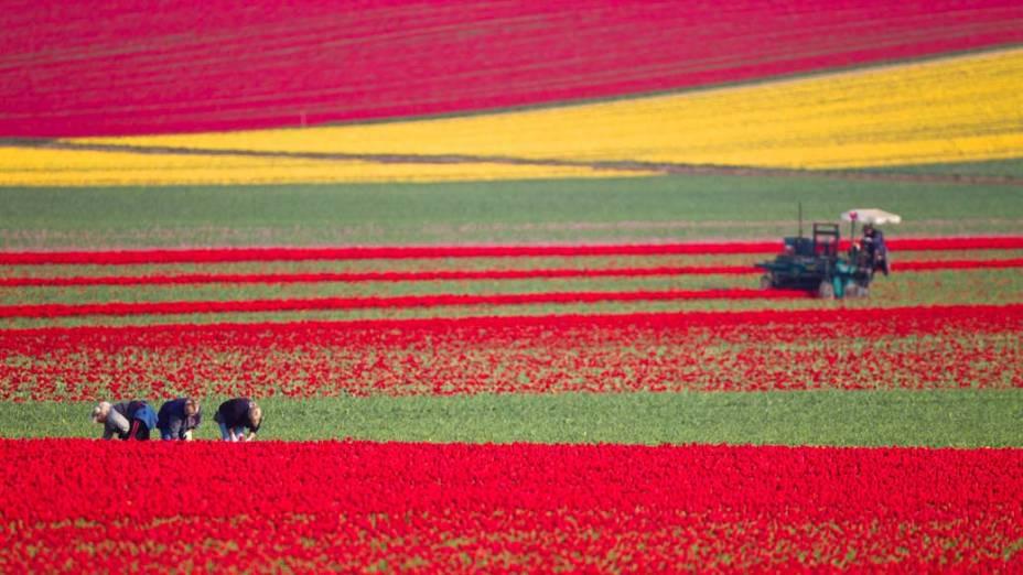 Campo de tulipas em Schwaneberg, Alemanha