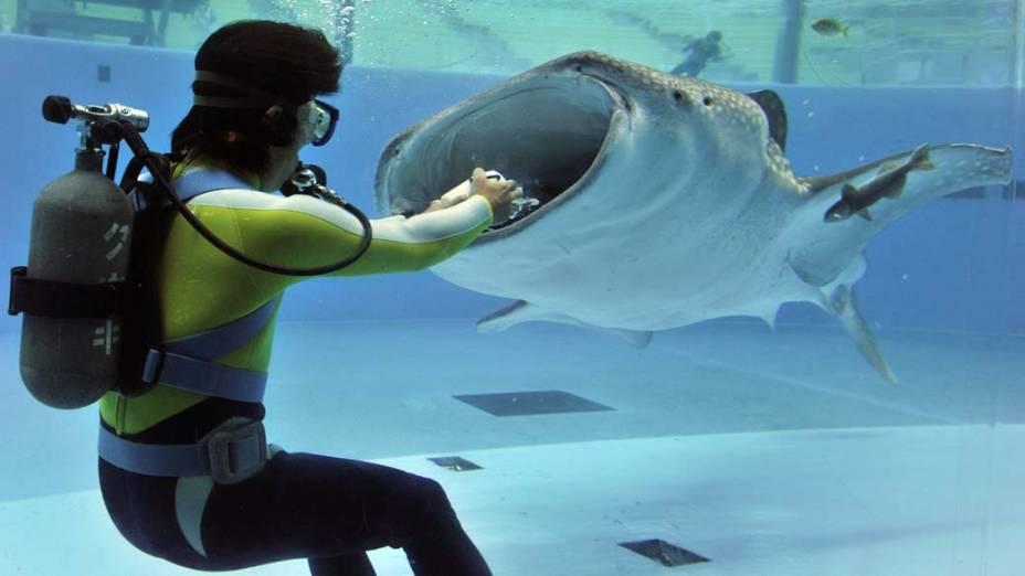 Em Tóquio, treinador alimenta um tubarão-baleia no aquário Hakkeijima Sea Paradise