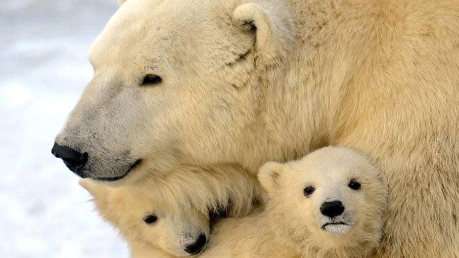 Urso polar brinca com os filhotes no zoológico de Moscou, Rússia