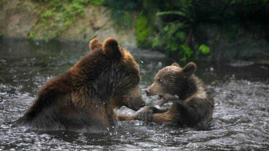 Ursos brincam em safari na cidade de Pasuruan, Indonésia
