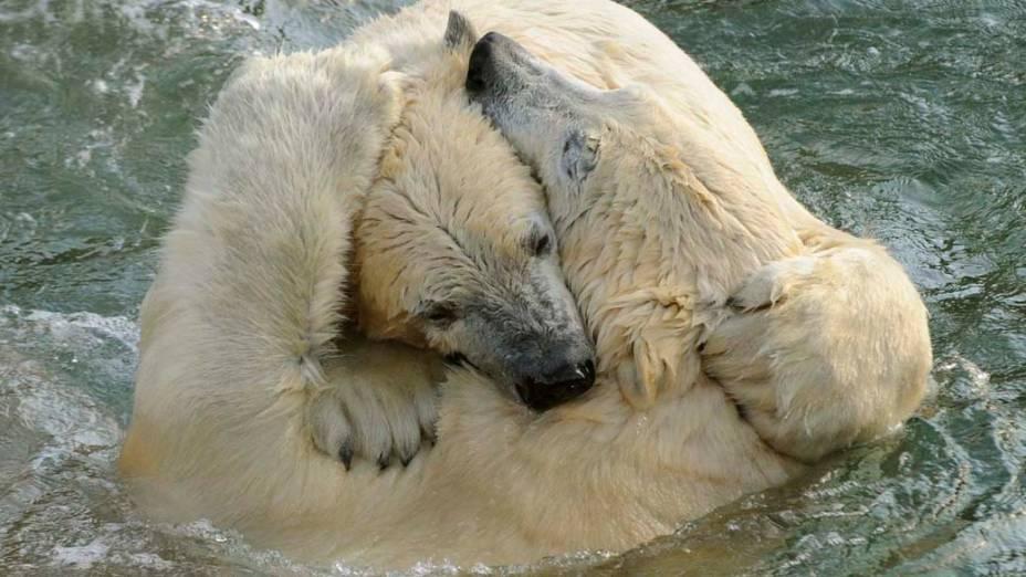 Ao se encontrarem pela primeira vez no zoológico de Hannover, na Alemanha, os ursos polares Nanuq e Sprinter disputam território