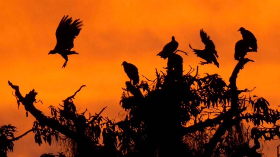 Urubus em árvores na cidade de Belém, Pará
