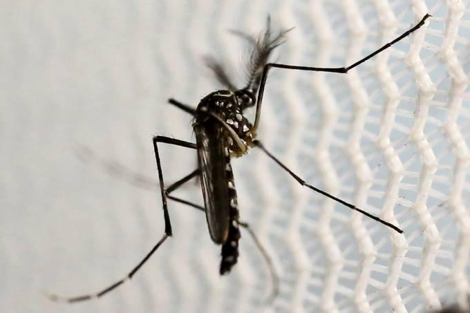 O mosquito transmissor da dengue, Aedes Aegypti
