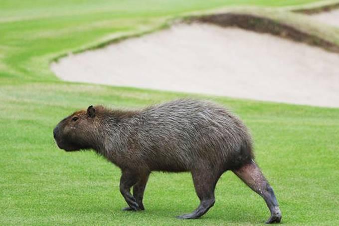 Capivara invade campo de golf no Rio