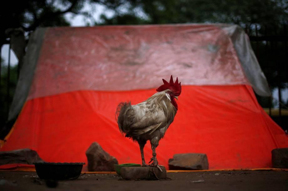 Galo é amarrado em um tijolo do lado de fora de um abrigo em Nova Délhi, na Índia - 01/08/2016