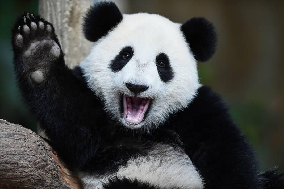 Urso panda gigante fêmea gesticula durante comemoração do seu aniversário de um ano, no zoológico nacional de Kuala Lumpur - 23/08/2016