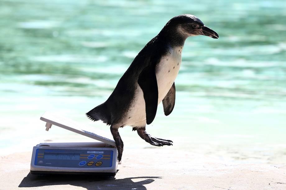 Anualmente, especialistas tiram medidas dos animais do zoológico de Londres para controle. Na foto, pinguim desce da balança ao ser pesado - 24/08/2016