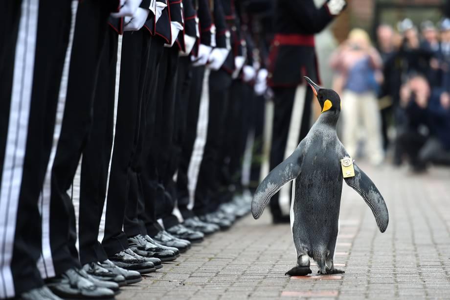 O pinguim-rei Nils Olav inspeciona a guarda real norueguesa após ser condecorado com o título de Brigadeiro - a mais alta patente militar da guarda - Nils Olav  reside no Zoológico de Edimburgo, na Escócia, e é o mascote oficial de honra da corporação - 22/08/2016
