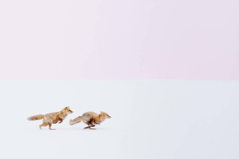 Raposas são fotografadas correndo, no Ártico