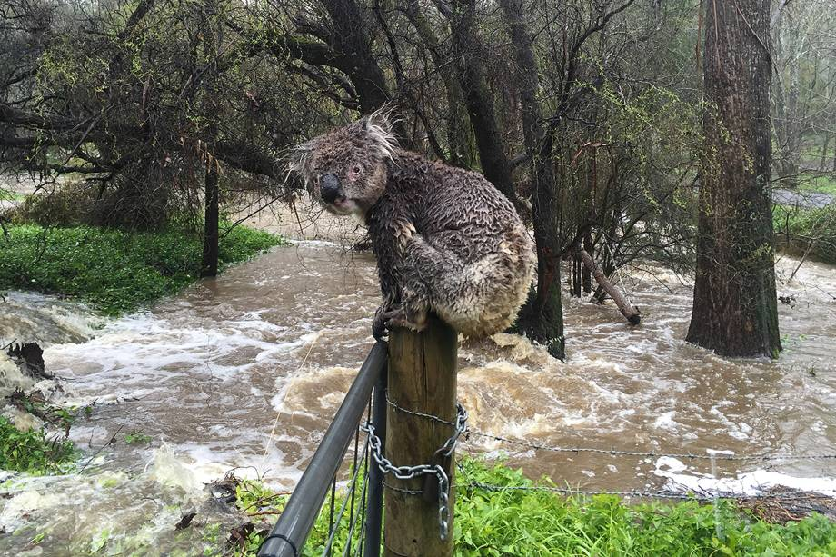 Coala encharcado se apoia em cerca durante enchentes na cidade de Stirling, na Austrália - 15/09/2016