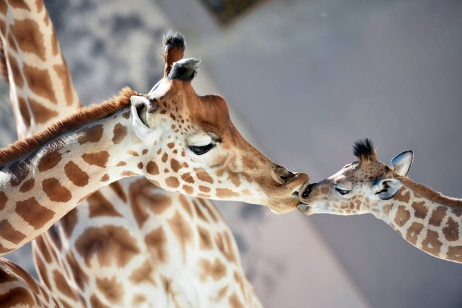 Bebê girafa 'Kenai' beija sua mãe 'Dioni' no zoológico de La Fleche, noroeste da França