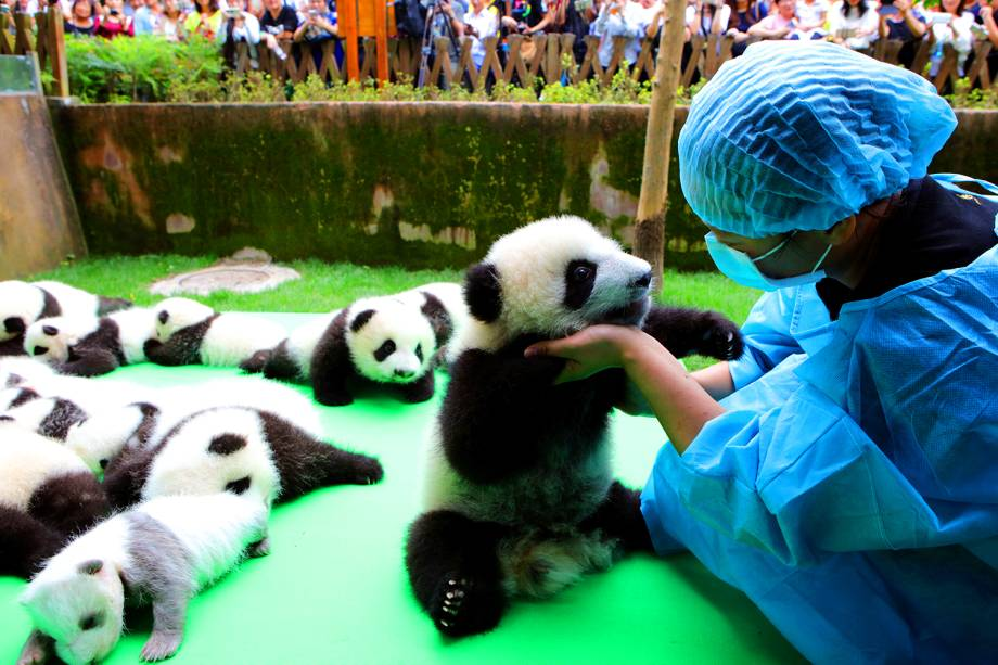 Pandas-gigantes recém-nascidos recebem cuidados em centro de reprodução na cidade de Chengdu, na China - 29/09/2016