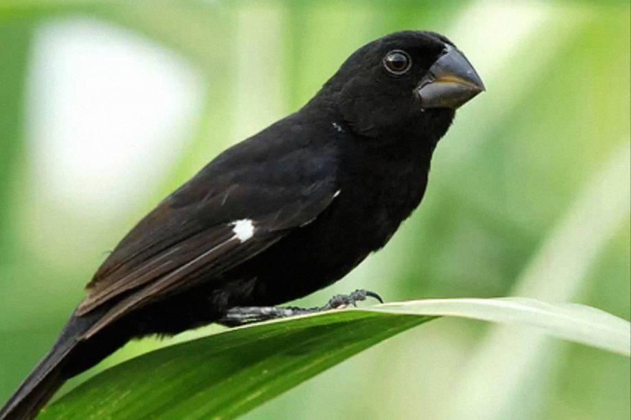 Bicudo: quase extinto, ele está criticamente ameaçado no Brasil e há no máximo 200 exemplares soltos na natureza