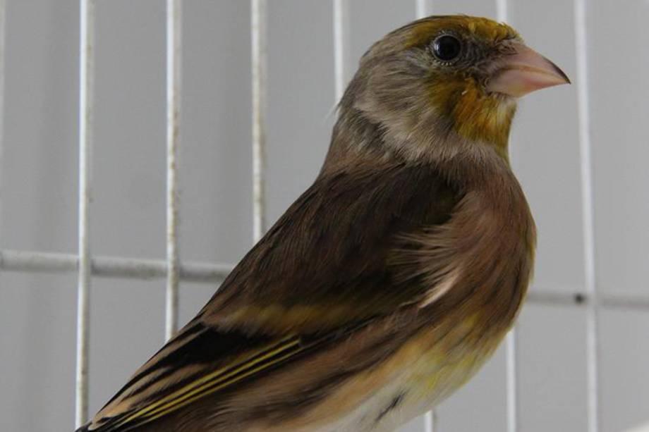 Pitangol: é uma ave híbrida entre o canário e o pintassilgo