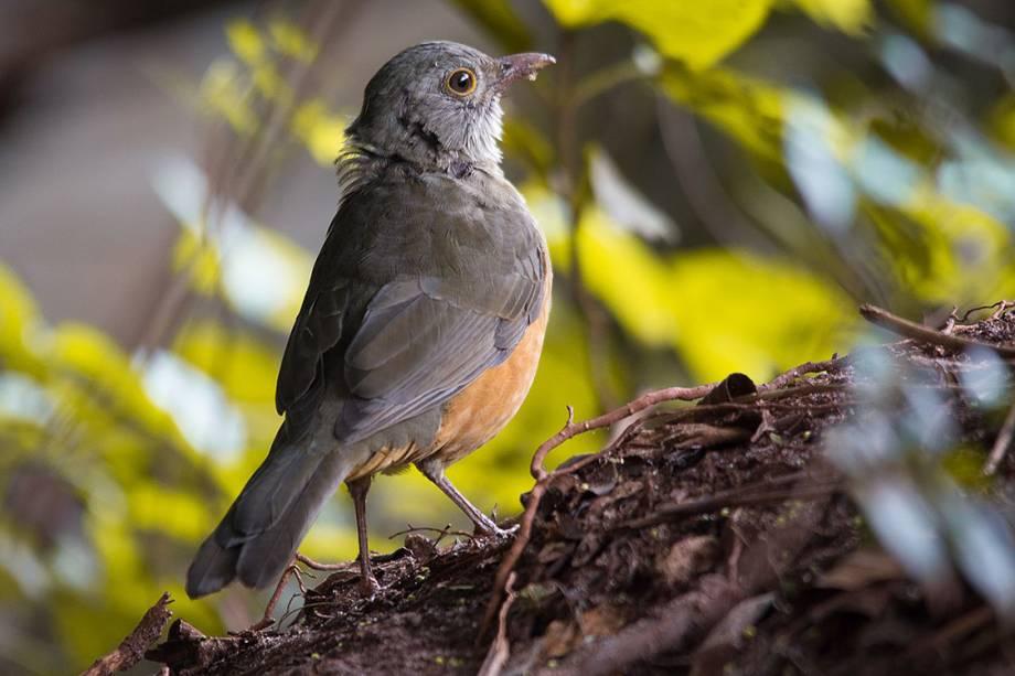 Sabiá-laranjeira: é o mais comum entre os diferentes tipos de sabiás