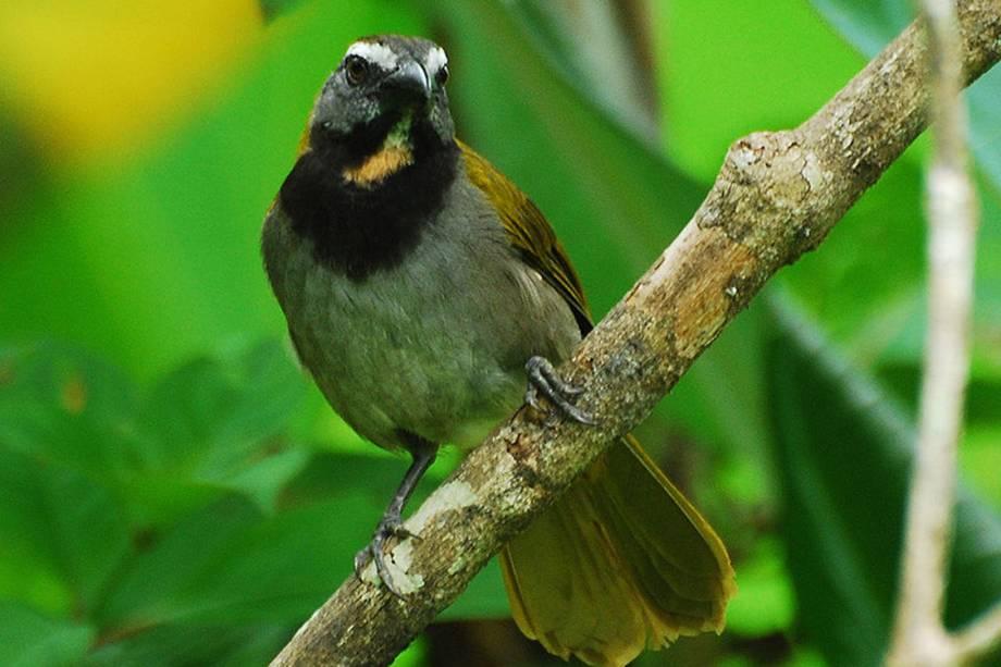 Trinca-ferro: é um dos pássaros mais apreciados pelos brasileiros, principalmente pelo seu canto