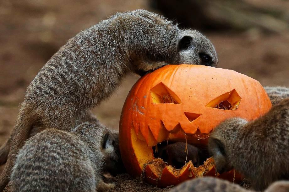 Suricatos procuram por comida dentro de uma abóbora esculpida durante as comemorações do Halloween no zoológico de Chester, na Inglaterra - 24/10/2016