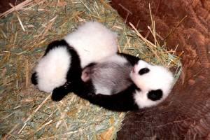 Filhotes de panda em zoológico austríaco