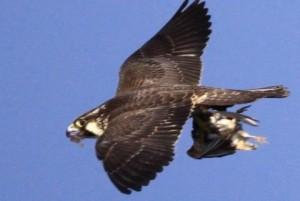 Solução contra pombos no Beira-Rio