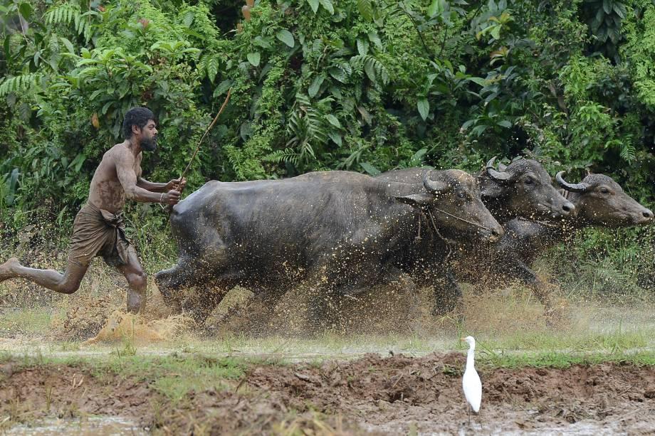 Fazendeiro usa búfalos para arar um campo em Horana, nos arredores de Colombo, no Sri Lanka