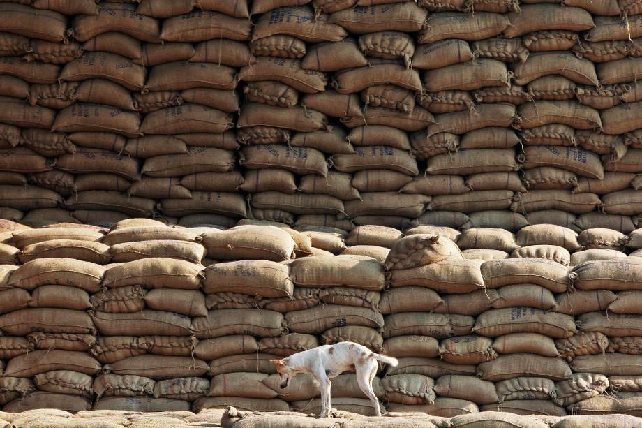 Cão fotografado sobre sacos de arroz em um mercado de grãos em Chandigarh, na India - 18/11/2016
