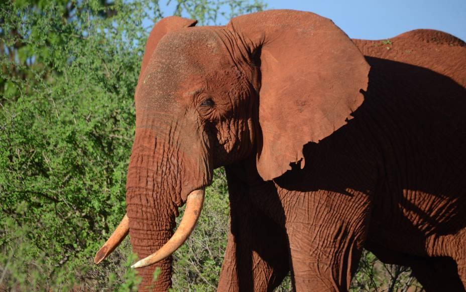 Elefante fêmea toma sol no parque nacional Tsavo-Leste, no Quênia - 21/11/2016