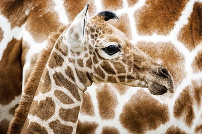 Imagens do dia – Girafa no zoo de Amsterdã na Holanda